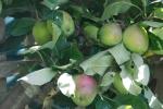 Apples in the KitchenGarden
