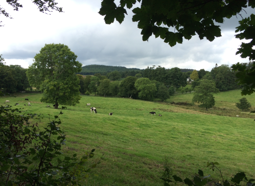 Rolling green Irish countryside with ancient trees and cows grazing in the distance